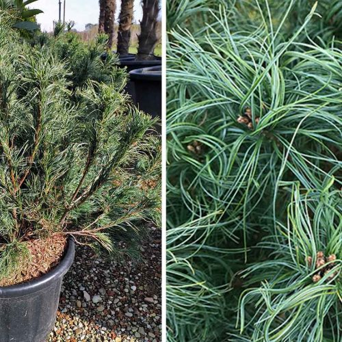 Pinus Strobus 'Tiny Kurls' (Eastern White Pine 'Tiny Kurls')
