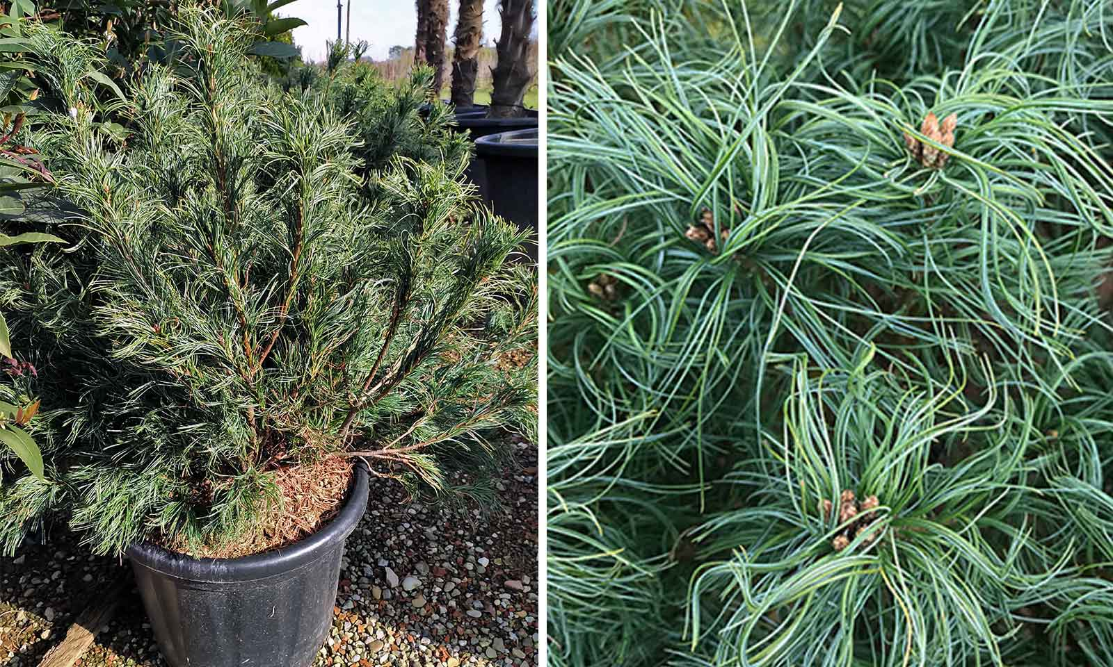 Pinus Strobus 'Tiny Kurls' (Eastern White Pine 'Tiny Kurls')
