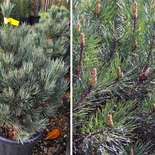 Pinus Sylvestris 'Watererii' (Scots Pine 'Watereri' / Glauca Nana)