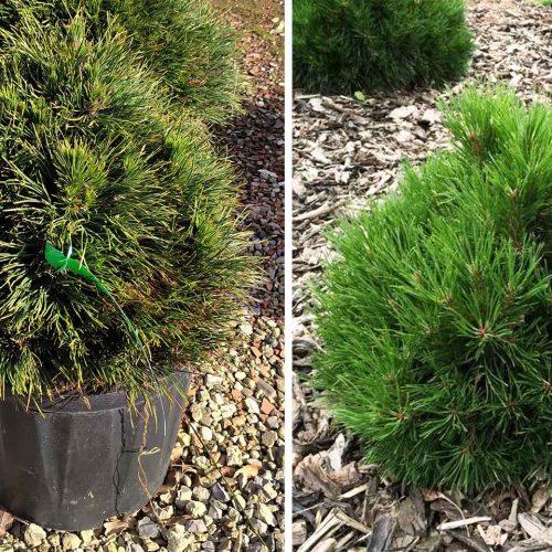 Pinus Mugo 'Varella' (Dwarf Mountain Pine 'Varella')