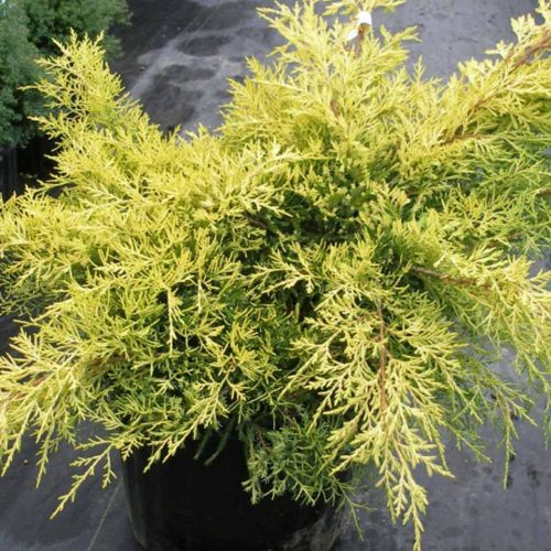 Juniperus x Media 'Gold Coast' (Juniper 'Gold Coast')