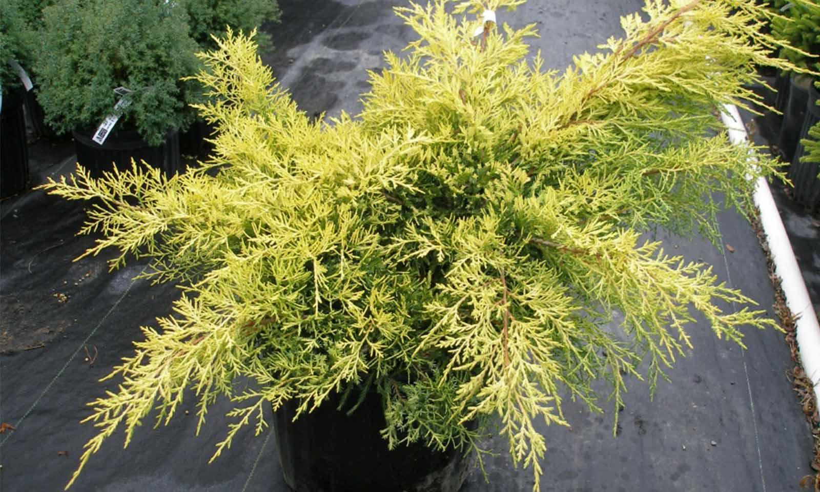 Juniperus x Media 'Gold Coast' (Juniper 'Gold Coast')
