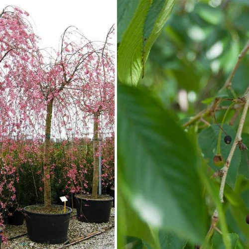 Prunus Subhirtella Pendula 'Plena Rosea' (Winter-Flowering Cherry) - Standard