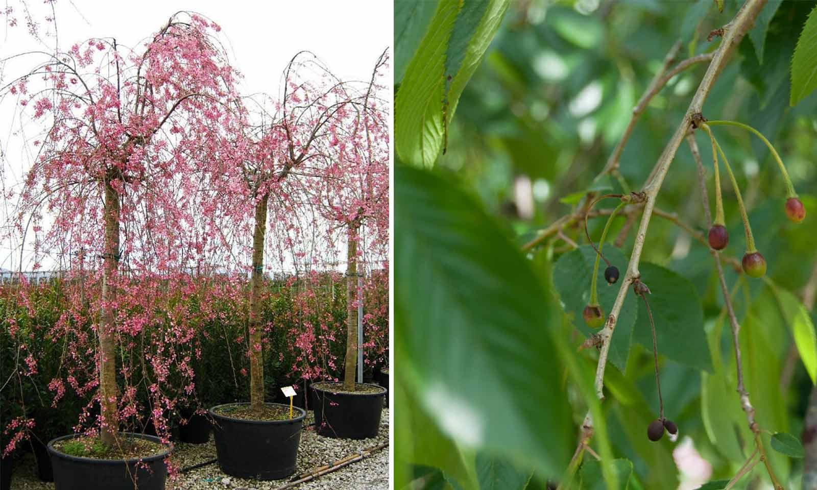 Prunus Subhirtella Pendula 'Plena Rosea' (Winter-Flowering Cherry) - Standard