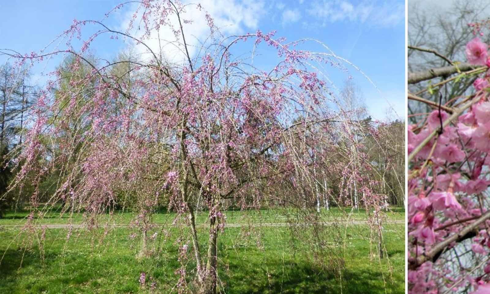 Prunus Subhirtella Pendula 'Plena Rosea' (Weeping Higan Cherry) - Multi-Stem