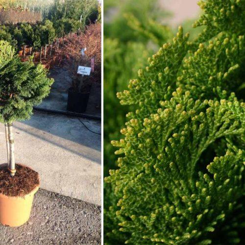 Chamaecyparis Obtusa 'Nana Gracilis' (Slender Hinoki False Cypress) - Quarter Standard