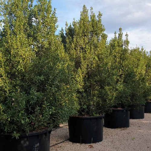 Laurus Nobilis (Bay Tree) – Extra
