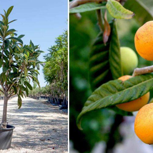 Eriobotrya Japonica (Loquat Tree) – Quarter standard