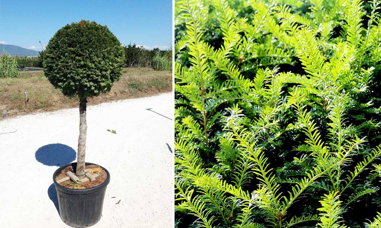 Taxus Baccata (English Yew) – Half Standard