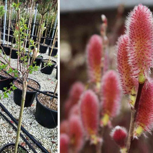 Salix Gracilistyla 'Mount Aso' (Japanese Pink Pussy Willow) - Half Standard
