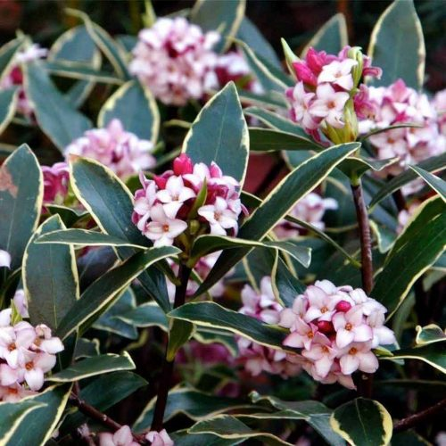 Daphne Odora 'Aureomarginata' (Gold-Edged Winter Daphne) - Shrub