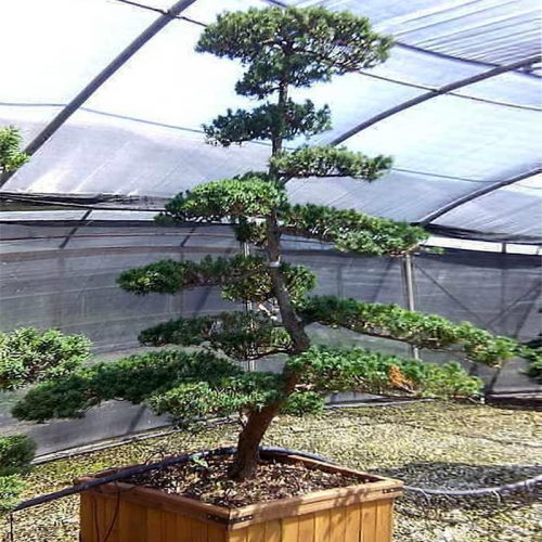 Taxus Baccata (English Yew) Japanese Style