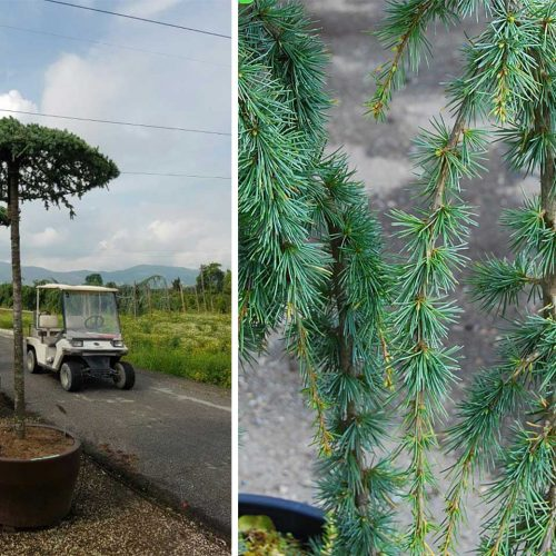 Cedrus Atlantica Glauca Pendula (Weeping Blue Atlas Cedar) - Umbrella