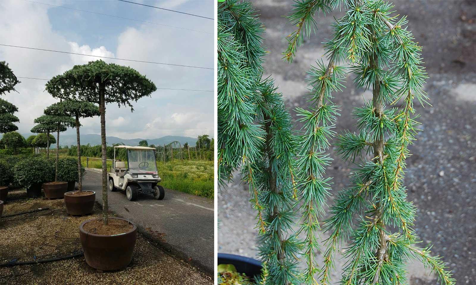 Cedrus Atlantica Glauca Pendula (Weeping Blue Atlas Cedar) - Umbrella