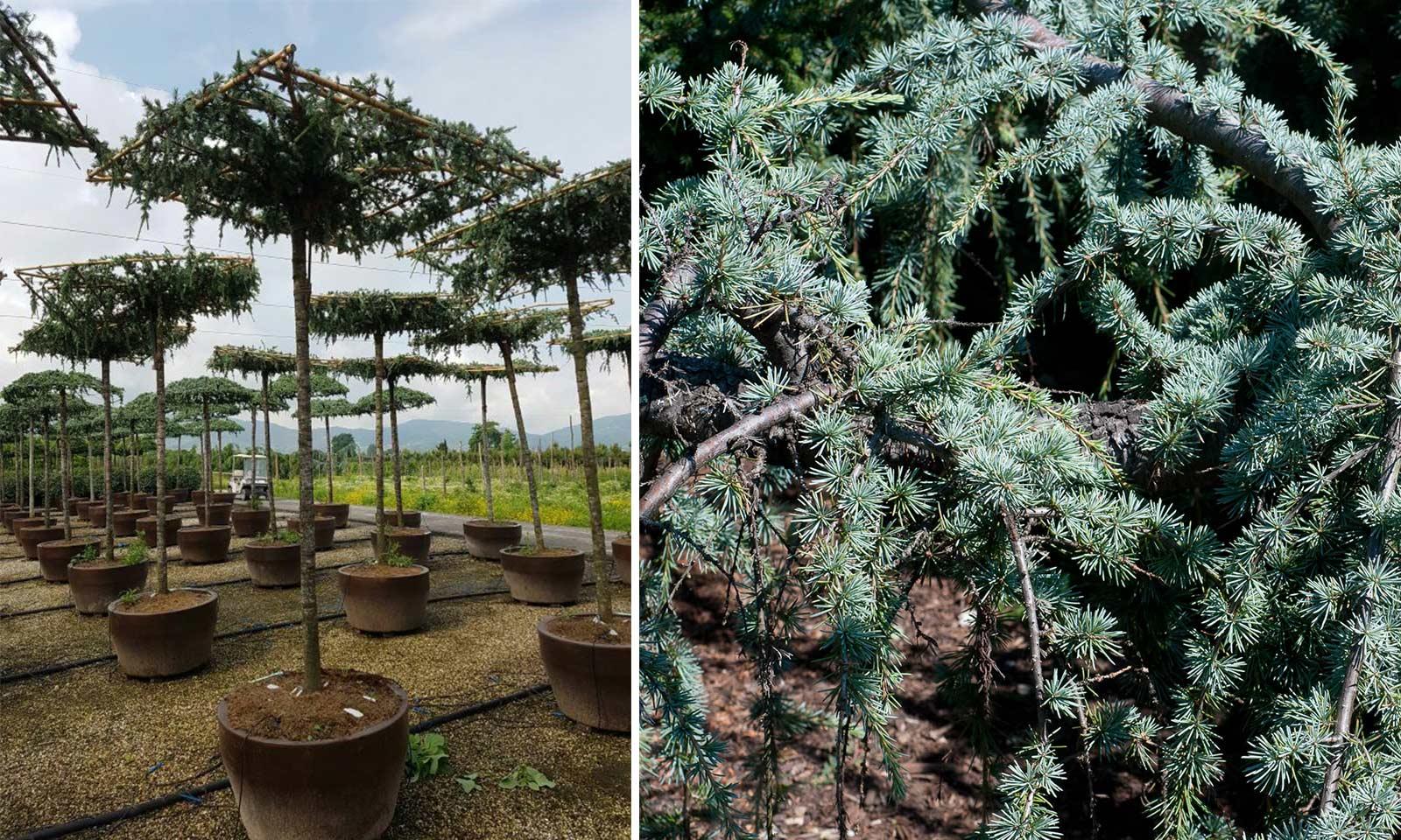 Cedrus Atlantica Glauca Pendula (Weeping Blue Atlas Cedar) – Roof Shape