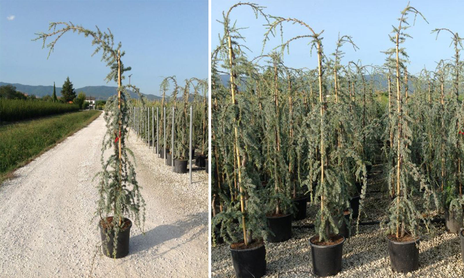 Cedrus Atlantica Glauca Pendula (Weeping Blue Atlas Cedar) – Tree