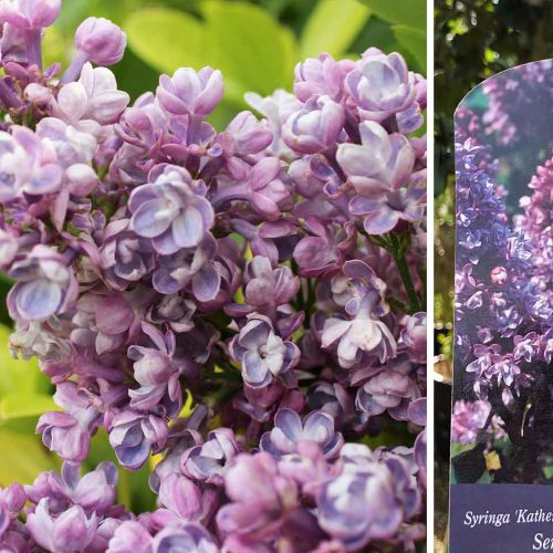 Syringa Vulgaris (Common Lilac / Pipe Privet)