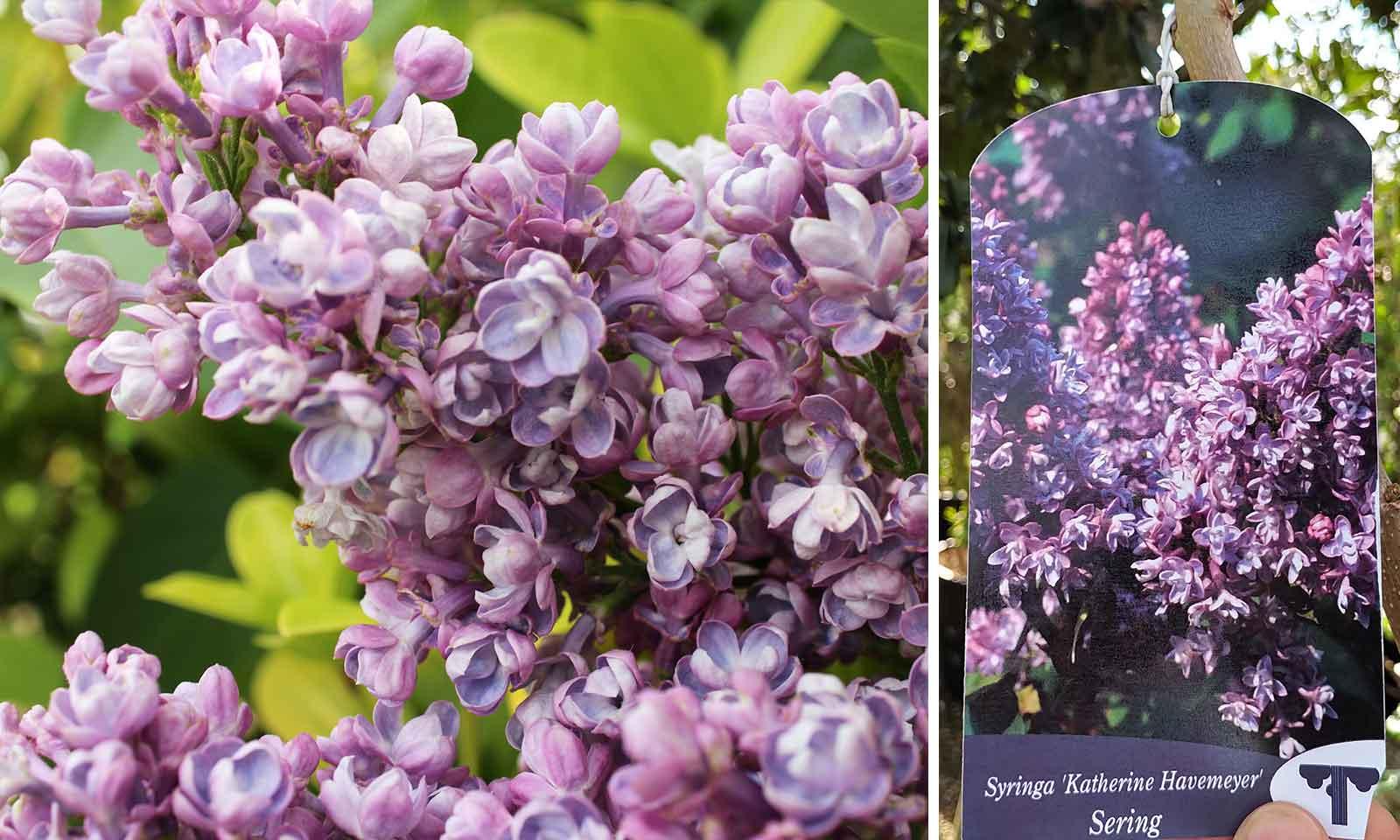 Syringa Vulgaris (Common Lilac / Pipe Privet)