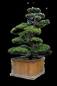 Conifer Bonsai Plants