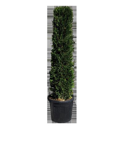 Conifer Cylinder