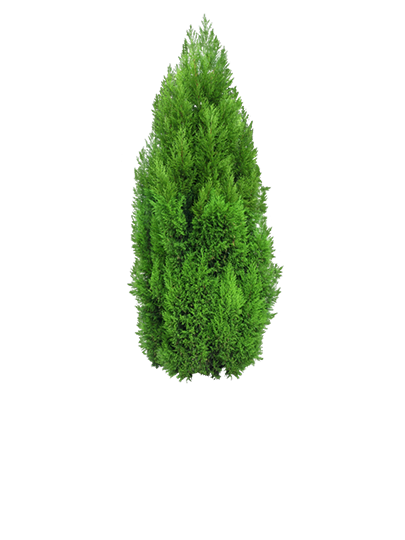 Conifer Hedging