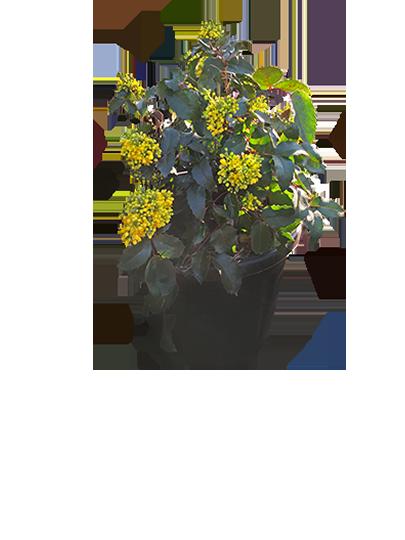 Flowering Hedging
