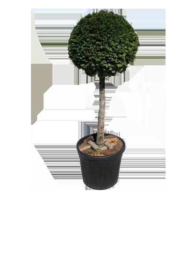 Half Standard Conifer Shapes