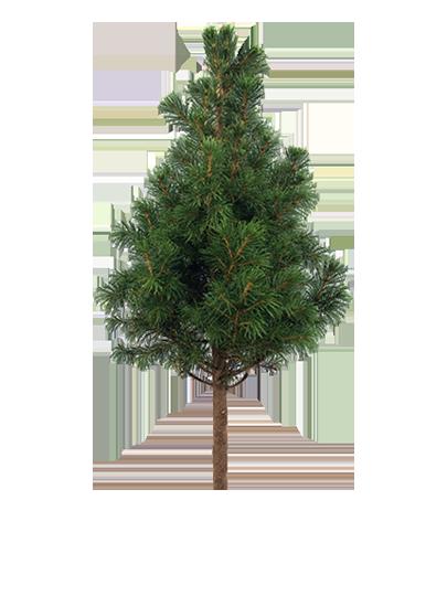 Standard Conifer Shapes