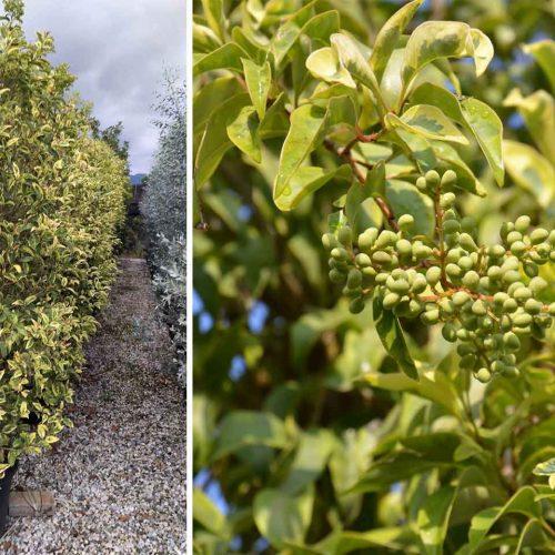 Ligustrum Japonicum Excelsum Superbum - Shrub