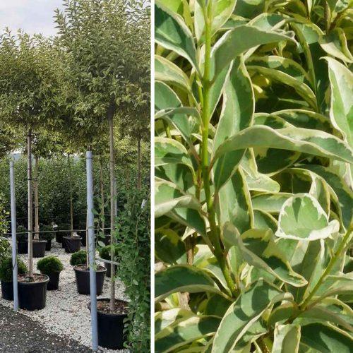 Ligustrum Japonicum Excelsum Superbum - Standard