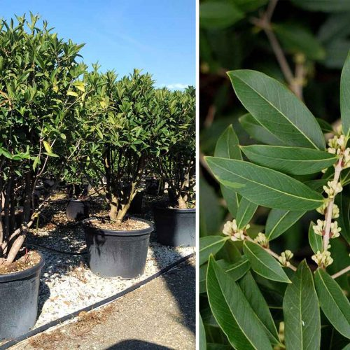 Osmanthus Armatus - Multi-Stem