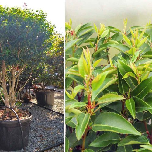 Prunus Lusitanica (Portugal Laurel / Cherry Bay / Portuguese Laurel Cherry) - Multi-Stem