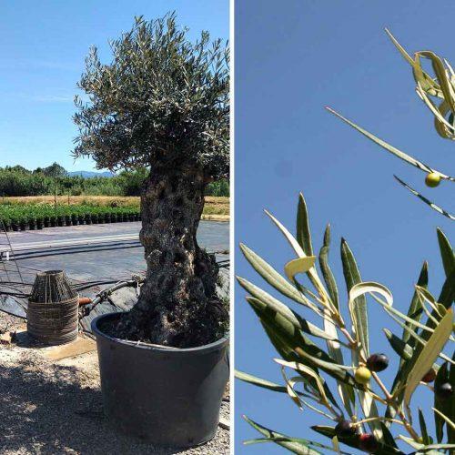 Olea Europea (Olive Tree) - Extra