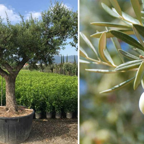 Olea Europea 'Ramificato' (Common Olive)