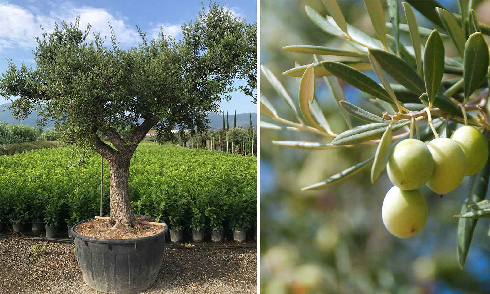 Olea Europea 'Ramificato' (Common Olive)
