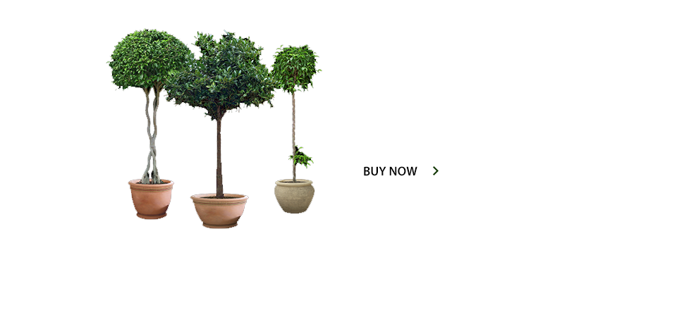 /product-category/topiary-trees/
